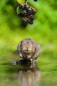 Water vole (Arvicola amphibius) feeding on blackberries, Kent, England, UK, September. Contrived situation.  -  Terry  Whittaker