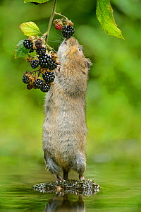 Water vole (Arvicola amphibius) standing on hind legs sniffing blackberry, Kent, UK, September.  -  Terry  Whittaker