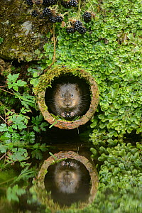 Water vole (Arvicola amphibius) feeding on blackberries in pipe, Kent, England, UK, September. Contrived situation.  -  Terry  Whittaker