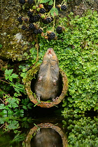 Water vole (Arvicola amphibius) standing on hind legs reaching up to blackberries, Kent, England, UK, September. Contrived situation.  -  Terry  Whittaker