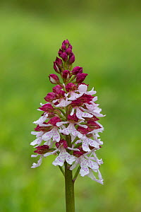 Lady orchid (Orchis purpurea) in flower, Kent, UK, May. - Terry  Whittaker