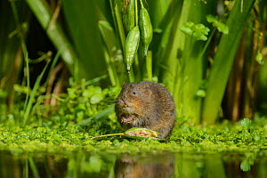 Water vole (Arvicola amphibius) feeding on Yellow flag (Iris pseudacorus) seed pod, Kent, England, UK, September.  -  Terry  Whittaker