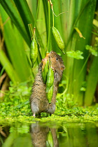 Water vole (Arvicola amphibius) feeding on Yellow flag (Iris pseudacorus) seed pods, Kent, England, UK, September. Contrived situation.  -  Terry  Whittaker