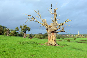 Dead veteran Pedunculate Oak (Quercus robur), with bark damaged by horse, Upton-upton-Severn, Worcestershire, England, UK, October. - Will Watson