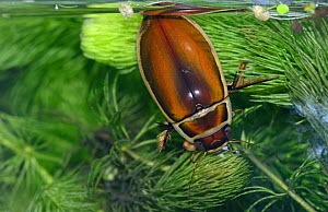 Male Great Diving Beetle (Dytiscus marginalis) taking in air, captive, Essex, England. - Will Watson