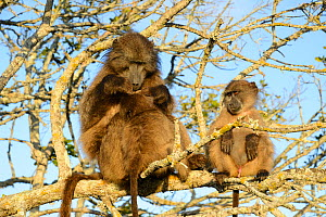 Chacma baboon (Papio ursinus) female grooming baby with young male, in sleeping tree. deHoop Vlei, Western Cape, South Africa.  -  Tony Phelps