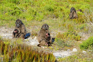 Chacma Baboon (Papio ursinus) related females with their infants relaxing. deHoop Vlei, Western Cape, South Africa.  -  Tony Phelps