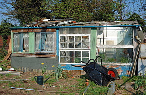 Allotment shed made from recycled materials, with a Forsythia shrub to the left, Manor Garden Allotments, Lea Valley, London Borough of Hackney, UK. These allotments were destroyed to make way for the... - Pat  Tuson