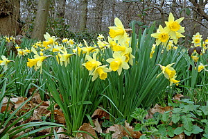Wild Daffodils (Narcissus pseudonarcissus) growing in ancient woodland, Lesnes Abbey Wood, London Borough of Bexley, England, UK, March.  -  Pat  Tuson