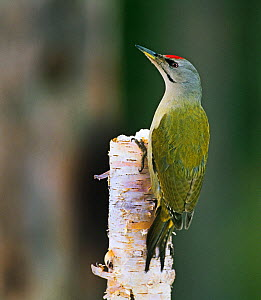 Grey-headed Woodpecker (Picus canus) adult male, Finland.  -  David Tipling