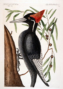 Hand coloured etching plate (Plate 16) of Ivory-billed woodpecker (Campephilus principalis)  The Natural History of Carolina, Florida and the Bahama islands (1731-43) Vol. 1 by Mark Catesby. Criticall... - David Tipling