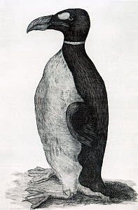 Illustration of Great Auk (Pinguinus impennis) by Ole Worm of his pet from the Faroe Islands. The only known illustration of a Great Auk drawn from life. From Ole Worms book Museum Wormianum, 1655.  -  David Tipling