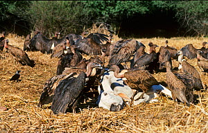 Indian White-rumped Vulture (Gyps bengalensis) and Slender-billed Vulture (Gyps tenuirostris) feeding on cow carcass at Bharatpur India,  January 1990 - before the Indian Vulture conservation crisis c... - David Tipling