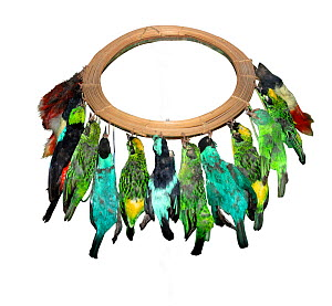 Cane headdress of Tanagers (Thraupidae) and Honeycreepers  (Cyanerpes) worn by the Jivaro of Northern Peru and eastern Ecuador.  -  David Tipling