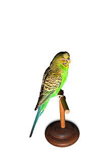 Sparkie the Budgerigar (Melopsittacus undulatus) 1954-62 winner of the 1958 BBC caged bird contest and famed for its mimicry ability - being able to recite ten nursery rhymes, 383 sentences and 531 wo...  -  David Tipling