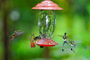 Rufous-tailed Hummingbird (Amazilia tzacatl) and Booted racket-tails (Ocreatus underwoodii) around feeder, Ecuador. - David Tipling