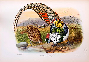 Lady Amherst's Pheasant (Chrysolophus amherstiae) illustration by Joseph Wolf from The Phasinaidae by D.G Elliott published 1870-72. - David Tipling