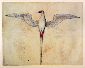 Red-billed Tropicbird (Paethon aethereus) watercolour by John White - 16th century.  -  David Tipling