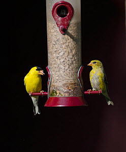 American Goldfinch (Carduelis tristis) pair on garden feeder, Cape May, New Jersey, USA, May.  -  David Tipling