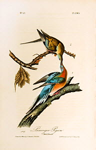 Illustration of Passenger Pigeons (Ectopistes migratorius) from the 1st edition of Birds of America by James Audobon.  -  David Tipling