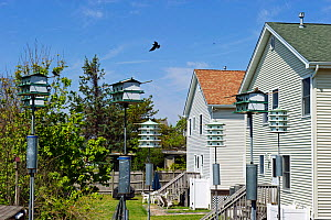 Purple Martin (Progne subis) boxes in garden, in Cape May, New Jersey, USA, May. - David Tipling