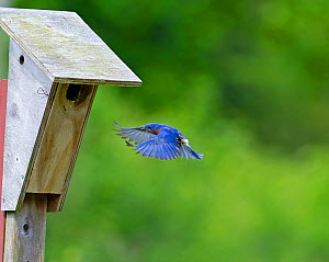 Eastern Bluebird (Sialia sialis) flying to nest box, Cape May, New Jersey, USA, May. - David Tipling