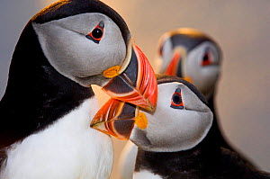 Puffin (Fratercula arctica) greeting each other by billing, Shetland Scotland, June.  -  David Tipling