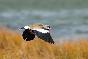 Southern Lapwing (Vanellus chilensis) male calling in flight, Tierra del Fuego, Argentina, November.  -  David Tipling