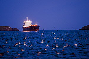 Manx Shearwaters (Puffinus puffinus) gathering at dusk in St Bride's Bay, with boat in the background, off Skomer Island, Pembrokeshire, Wales, UK, August.  -  David Tipling