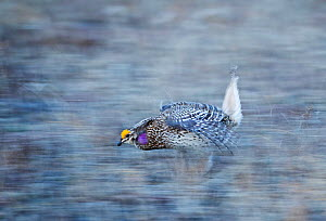 Sharp-tailed Grouse (Tympanuchus phasianellus) displaying on lek at dawn in the Sandhills, Nebraska, USA, April. - David Tipling