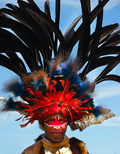 Performer from Jiwaka tribe Western Highlands at Mt Hagen show. Head dress has Blue Bird of Paradise (Paradisaea rudolphi) and Black Sicklebill (Epimachus fastosus) feathers. Western Highlands, Papua... - David Tipling