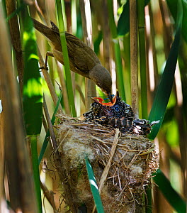 Reed Warbler (Acrocephalus scirpaceus) feeding Cuckoo (Cuculus canorus) chick in reedbed nest, Norfolk, May. - David Tipling