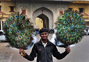 Man holding up decorative Peacock (Pavo cristatus) feather fans to be sold to tourists in Jaipur, India, November 2010. - David Tipling
