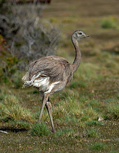 Darwin's Rhea (Rhea pennata) Beagle Channel, Chile. - David Tipling