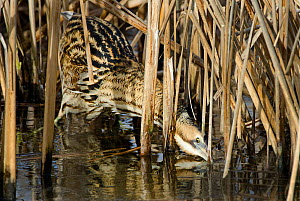Bittern (Botaurus stellaris) feeding, Slimbridge, Gloucestershire, England, UK, February.  -  David Tipling
