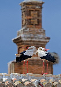 White Storks (Ciconia ciconia) displaying on roof top, Alfaro, Spain, May. - David Tipling