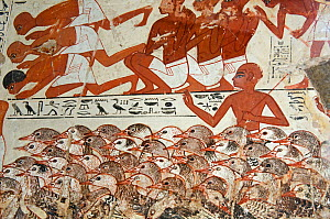 From the tomb wall of Nebamun, Thebes, Egypt?Late 18th Dynasty, around 1350 BC.Detail from a scene from part of a wall showing Nebamun inspecting flocks of geese and herds of cattle. He watches as far... - David Tipling