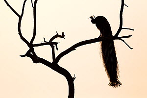 Silhouette of Common peafowl (Pavo cristatus) perched in a tree at dawn. Keoladeo Ghana National Park, Bharatpur, Rajasthan, India. - David  Pattyn