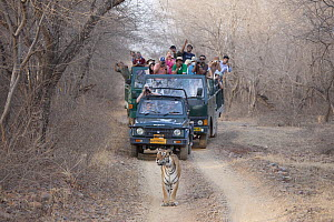 Tourists in vehicle following and watching old female Bengal tiger (Panthera tigris tigris)   Ranthambore National Park, Rajasthan, India. - David  Pattyn
