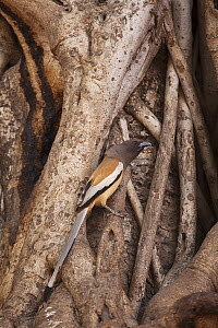 Indian tree pie (Dendrocitta vagabunda) perched in between the roots of a Banyan tree. Ranthambore National Park, Rajasthan, India. - David  Pattyn