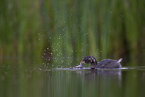 Little Grebe (Tachybaptus ruficollis) newly independent fledgling age 41 days, feeding Common Spadefoot (Pelobates fuscus) larvae. This was the first succesful attempt to catch prey that I have witnes... - David  Pattyn