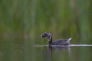 Little Grebe (Tachybaptus ruficollis) independent fledgling age 41 days, with Common Spadefoot (Pelobates fuscus) larvae prey. The Netherlands, July. - David  Pattyn