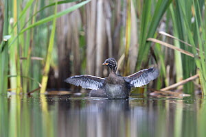 Little Grebe (Tachybaptus ruficollis) independent fledgling at 46 days, stretching wings in water showing fully developed primary feathers, The Netherlands, July - David  Pattyn