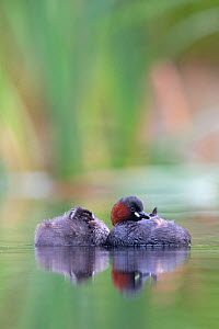 Little Grebe (Tachybaptus ruficollis) female sleeping with one of her 28 day chicks. The Netherlands, June. - David  Pattyn