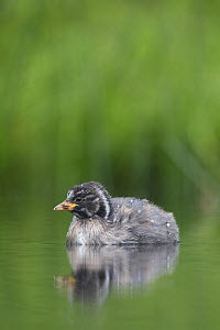 Little Grebe (Tachybaptus ruficollis) portrait of a 28 day chick. The Netherlands, June. - David  Pattyn