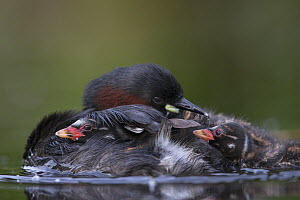 Little Grebe (Tachybaptus ruficollis) chicks age 12 day trying to get on to the back of their mother while she is preening her feathers. The Netherlands, June. - David  Pattyn
