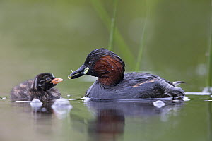 Little Grebe (Tachybaptus ruficollis) female feeding a dragonfly larvae to one of its chicks age 10 days. The Netherlands, June. - David  Pattyn