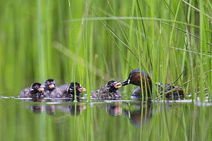 Little Grebe (Tachybaptus ruficollis) female feeding one of its chicks age 10 days. The Netherlands, June. - David  Pattyn