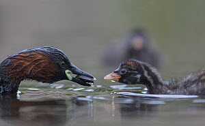Little Grebe (Tachybaptus ruficollis) female feeding a Great diving beetle (Dytiscus marginalis) to one of its chicks age 10 days, The Netherlands, June. - David  Pattyn