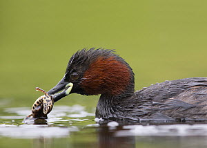 Little Grebe (Tachybaptus ruficollis) female in breeding plumage with Common or Smooth Newt (Triturus vulgaris) as prey. Close-up portrait. The Netherlands, June.  -  David  Pattyn